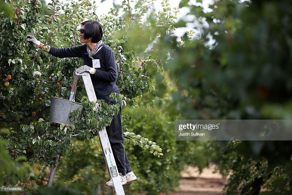 Village Harvest volunteer Pat Neukom stands on a ladder as she picks apricots during the harvest of apricot and plum trees at Guadalupe Historic Orchard on June 25, 2013 in San Jose, California. Village Harvest and other San Francisco Bay Area nonprofit groups are volunteering to pick excessive fruit from homeowners' yards and other plots of land to donate to food banks, soup kitchens and organizations that help the needy. Urban harvesting, or gleaning, aims to collect fruit that normally goes to waste after it goes unpicked and falls to the ground. Village Harvest has donated thousands of pounds of fruit to local organizations.