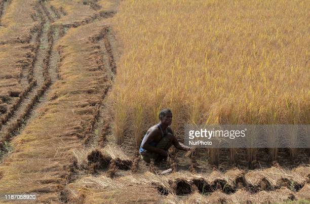 Village living farmers are seen at their agricultural paddy fields as they are busy in the ripen paddy cutting works as they harvested their this...