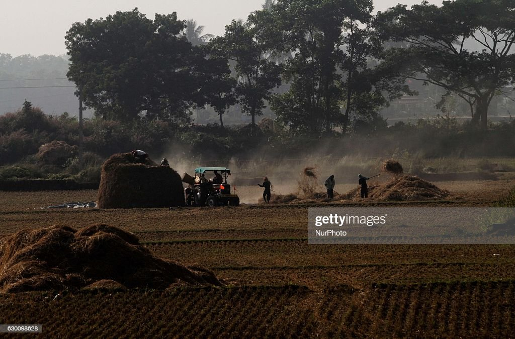 Village living farmers busy in the paddy harvesting works at their agricultural paddy field just outskirts of the eastern Indian city Bhubaneswar, India, 16 Dec. 2016.