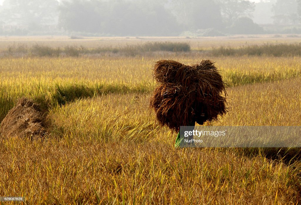 Village living farmers transport ripped paddy bundles to their home from the agricultural paddy fields as they harvested it as this year crop outskirts of Bhubaneswar, December.11, 2016.
