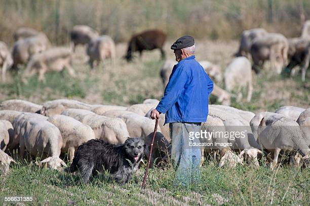 Village of Banon Shepherd With Its Ewes Department 04 PACA or Provence Alpes Cote d'Azur Region South of France