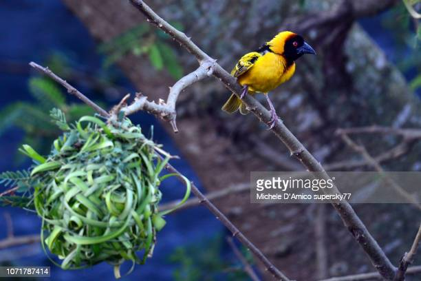 village weaver (ploceus cucullatus), also known as the spotted-backed weaver or black-headed weaver - michele weaver stock pictures, royalty-free photos & images