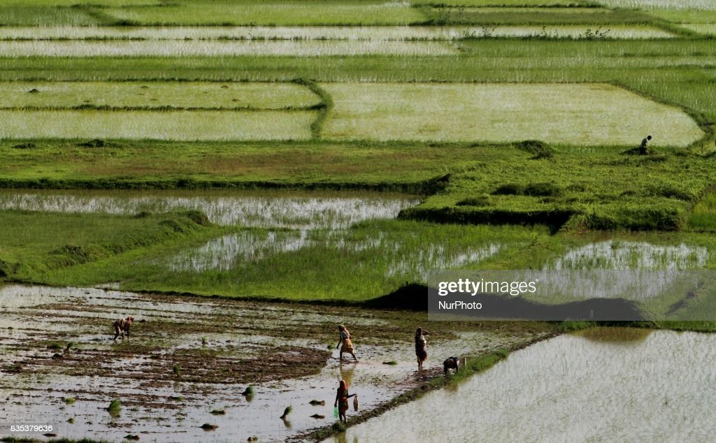 Village women daily wage laborers look at the agricultural paddy field as they are busy in the paddy saplings replanting works outskirts of the eastern Indian state Odisha's capital city Bhubaneswar on 19 August 2017.