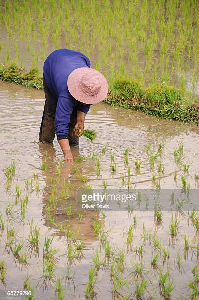 Villager bent over in flooded paddy field planting rice crop. In rural countryside of Mae Ai District, Chang Mai Province, Northern Thailand