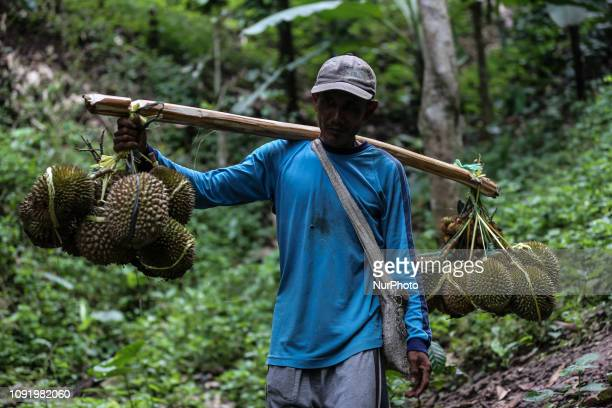 A villager carrying durian fruits from a jungle of Mount Munjang in Rabag Village West Java indonesia on Thursday Januari 31 2019 After harvest they...