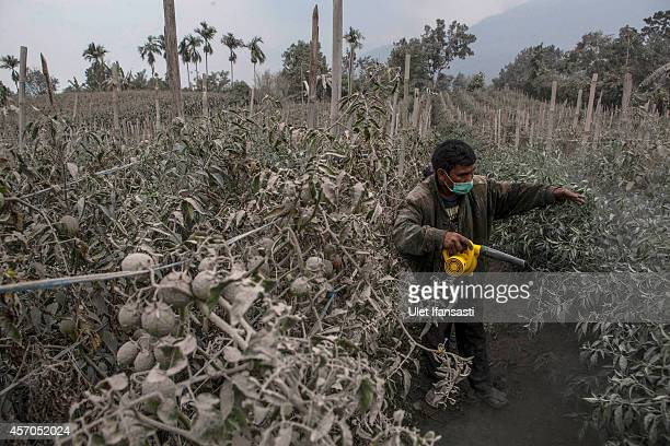 A villager cleans his tomato fields covered by ash from the eruption of Mount Sinabung on October 11 2014 in Karo district North Sumatra Indonesia...