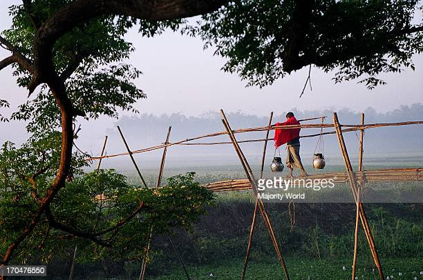 A villager crosses a bamboo bridge carrying pitchers containing fresh Date juice collected from the Date palm trees on a winter morning Bangladesh