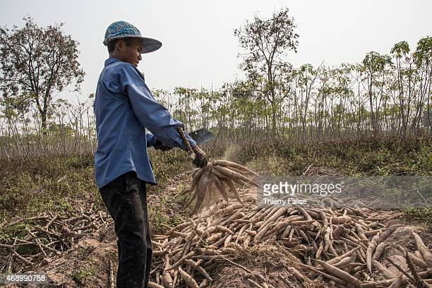 A villager cuts raw cassava in a field near Banteay Chhmar village Cambodia is a main cassava producer in Asia The product is mostly exported to...