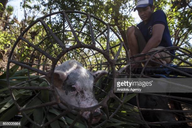 A villager evacuates his livestock from Karangasem Regency Bali Indonesia on September 28 2017 Based on data from National Counseling Posts in...