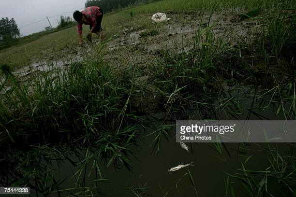 A villager labours in a field beside dead fish caused by polluted water from a chemical plant on July 13 2007 in Yancheng of Jiangsu Province east...