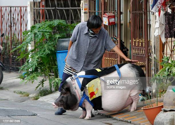Villager pats a big pet pig which is being taken for a walk on a lead at a village in Nonthaburi province, on the outskirts of Bangkok. The pig has...