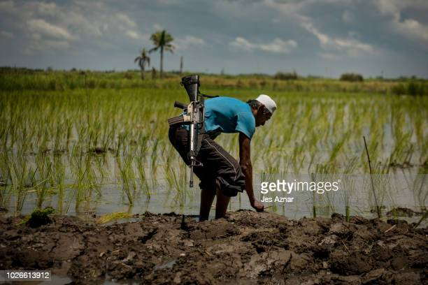 A villager plants rice with a rifle to defend their village from IS attacks on September 1 2018 in Datu Piang Maguindanao Philippines Datu Piang is...