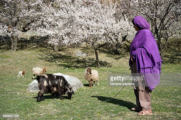 Villager shepherd with cherry blossom in Hunza Valley, Pakistan.
