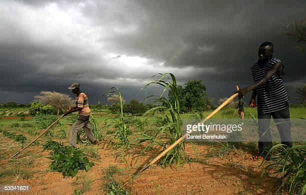 Villager tend to their meager crop of millet as a storm approaches on August 8 2005 near Dakoro Niger Care International distributed 50 kg bags of...
