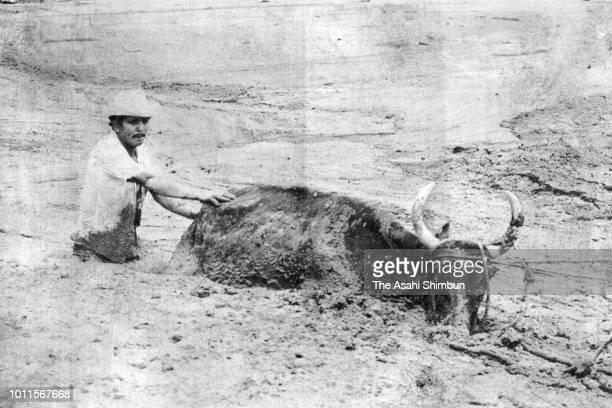 Villager tries to rescue a cow buried in lahars triggered by the eruption of the Mt. Nevado del Ruiz on November 17, 1985 in Armero, Colombia.