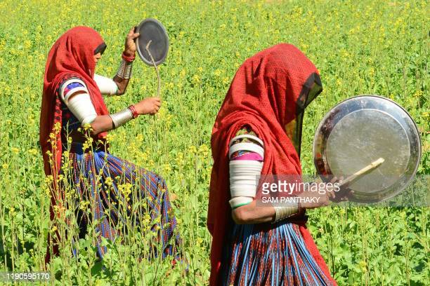 Villagers bang pots in an effort to clear locusts from crop fields near Miyal village in Banaskantha district some 250km from Ahmedabad on December...