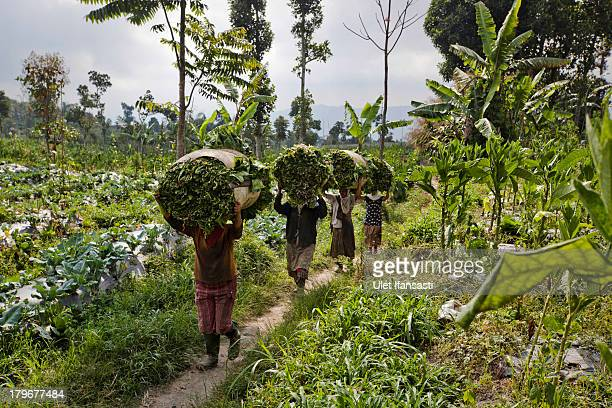 Villagers carry tobacco leaves at Stabelan village, located just less than four kilometers from top of mount Merapi on September 5, 2013 in Boyolali,...