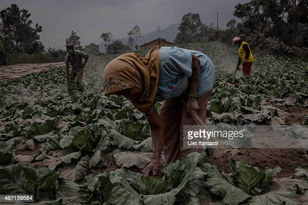 Villagers clean their cabbage fields after their village is hit by ash from the eruption of Mount Sinabung on October 13 2014 in Berastagi Karo...