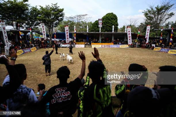 Villagers dancing as they watch rams fight during a Sundanese traditional cultural event called Adu Domba Garut at Rancabango village in Garut West...