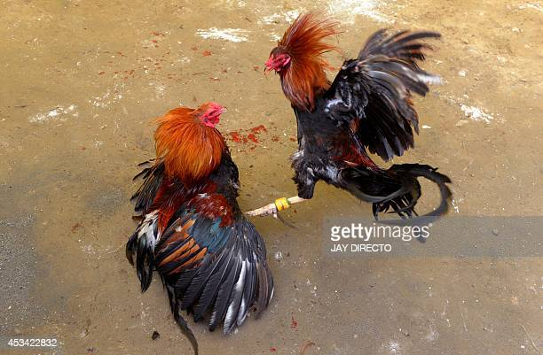 Villagers engage in a cockfighting in a make shift arena as part of the town's annual 'fiesta' celebrations in Barangay San Roque outside Manila on...