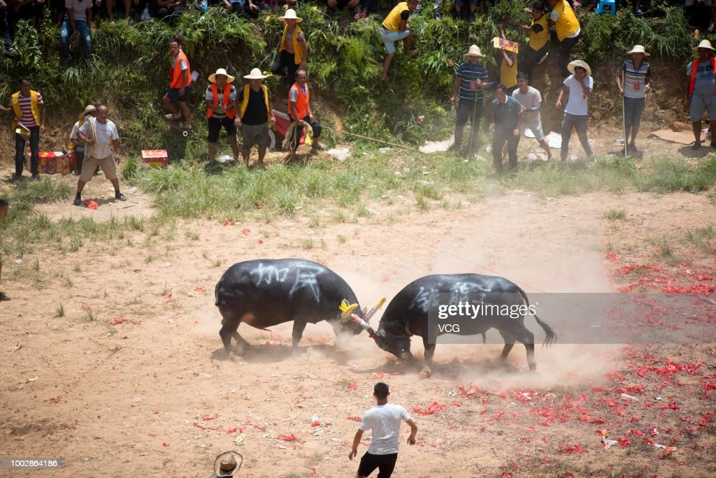Villagers Watch Bullfighting In Qiandongnan