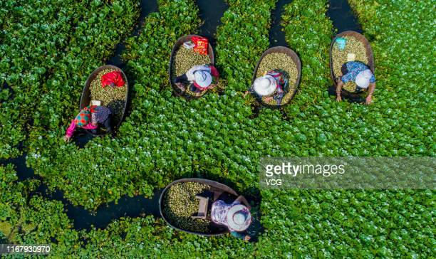 Villagers harvest fresh seeds of Trapa natans, or water chestnuts, at Zhouduo village on August 13, 2019 in Nantong, Jiangsu Province of China.