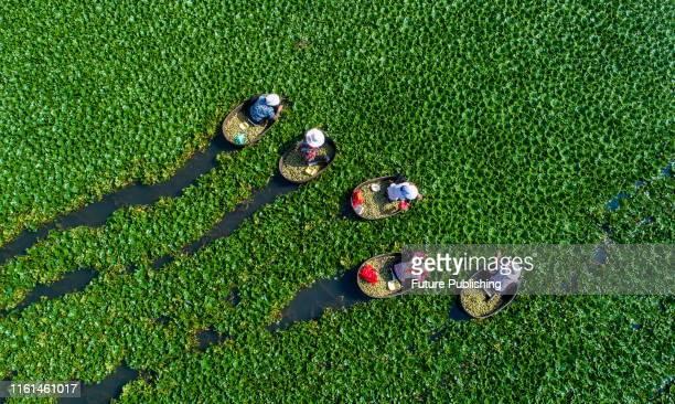 Villagers harvest fresh Trapa bispinosa Roxb in hai 'an, east China's jiangsu province, Aug. 13, 2019.- PHOTOGRAPH BY Costfoto / Barcroft Media