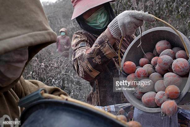 Villagers harvest tomatoes at their fields covered by ash following a further eruption of the Mount Sinabung on January 6 2014 in Karo District North...