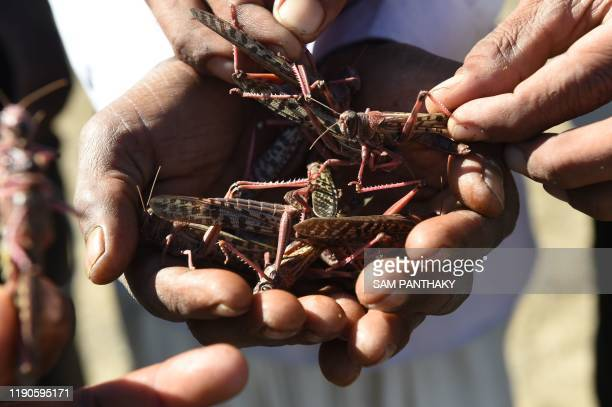 Villagers hold locusts affected by insecticides near Miyal village in Banaskantha district some 250km from Ahmedabad on December 27 2019 A massive...
