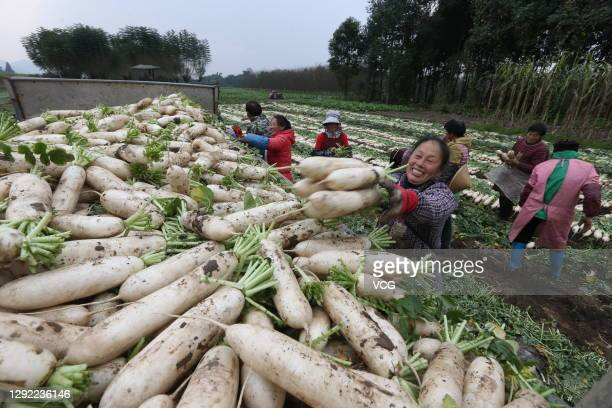Villagers load harvested radishes onto a truck on December 20, 2020 in Meishan, Sichuan Province of China.