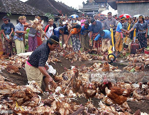 Villagers of Bolangan village set fire to hundreds of chickens to cut the spread of bird flu near a poultry yard in the town of Tabanan, central Bali...
