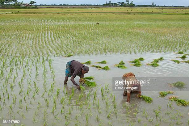 Villagers plant rice seedlings