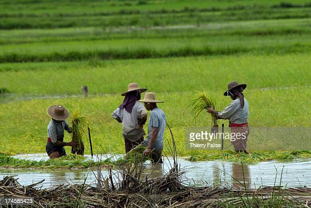 Villagers plant rice When Cyclone Nargis slammed into this delta it flooded many ricefields with salt water making it very difficult or impossible to...