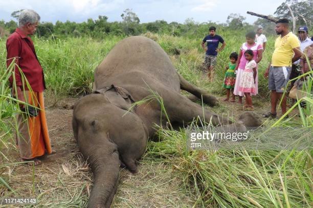 Villagers stand next to the dead body of an elephant laying in a field near Sigiriya village, some 177 kms north of the capital of Colombo on...