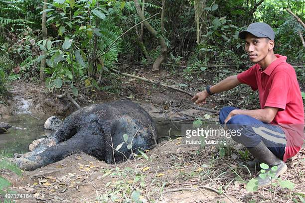 Villagers take a look at the dead body of a Sumatran elephant at Seumanah Jaya plantation area on November 14 2015 in Aceh Indonesia An official from...