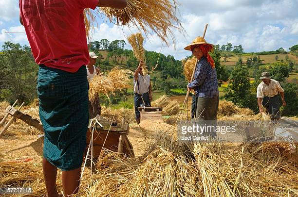 people threshing grain in myanmar - threshing stock photos and pictures