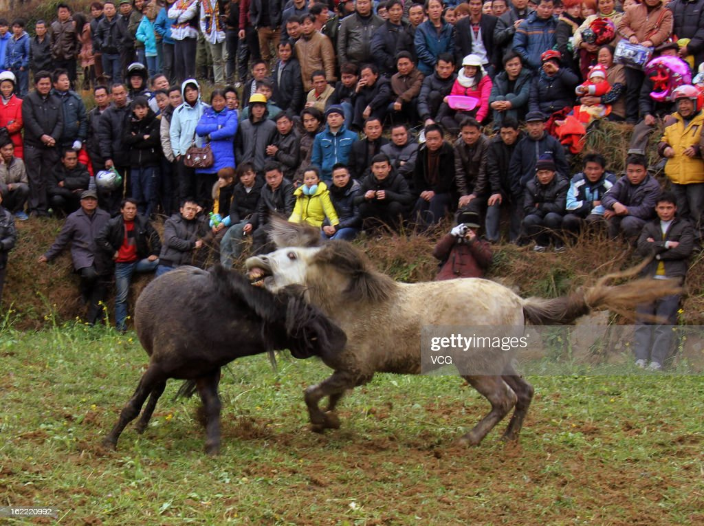 Villagers watch as two horses fight during a Spring Festival celebration on February 20, 2013 in Rongshui County, China. The Chinese Lunar New Year of Snake also known as the Spring Festival, which is based on the Lunisolar Chinese calendar, is celebrated from the first day of the first month of the lunar year and ends with Lantern Festival on the Fifteenth day.