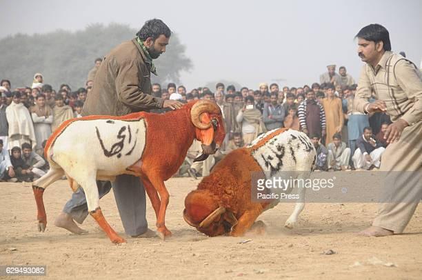 RAWALPINDI PAKISTAN RAWALPINDI PUNJAB PAKISTAN Villagers watch the sheep fighting each other during the annual celebration of sheep fighting The...