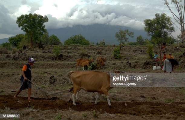 Villagers work with their cows in a field with a backdrop of the Mount Agung volcano erupting in Kubu Bali Indonesia on November 29 2017 The volcano...