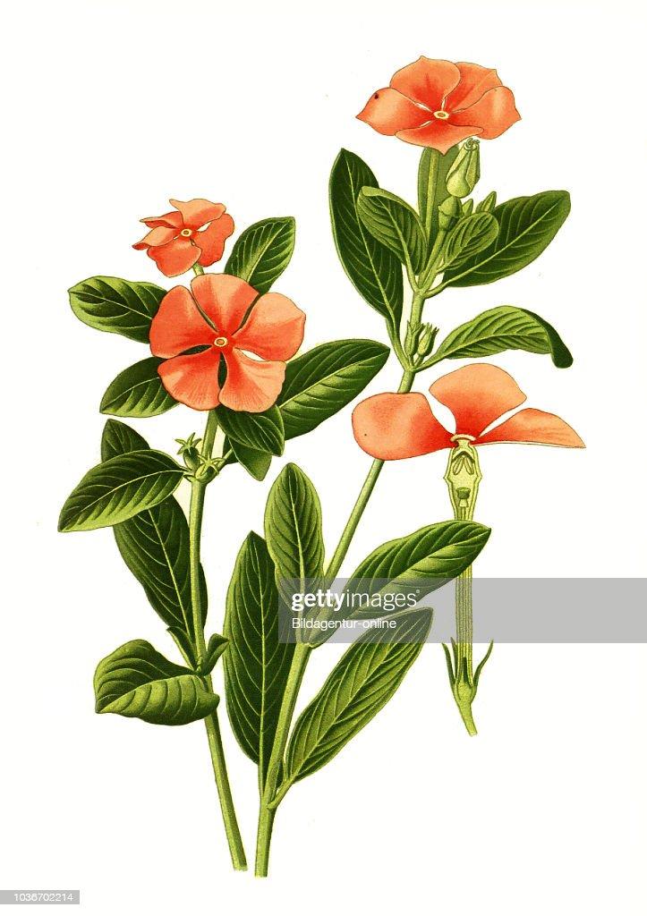 Vinca Rosea, Catharanthus roseus, Old Maid, Madagascar periwinkle ...