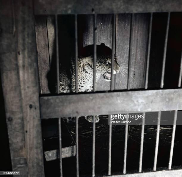 Vincennes Zoo Vincennes Années 1950 Au zoo de Vincennes un jeune léopard dans sa cage à barreaux