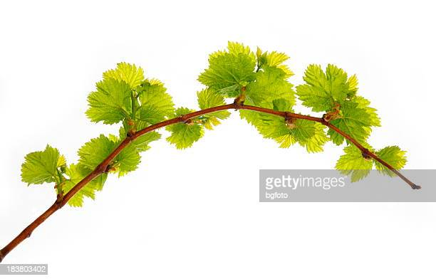 vine branch - grape leaf stock pictures, royalty-free photos & images