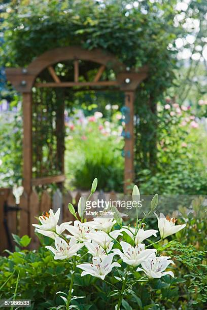 Vine covered arbor over gate leading to backyard garden with Centerfold Asiatic hybrid lily
