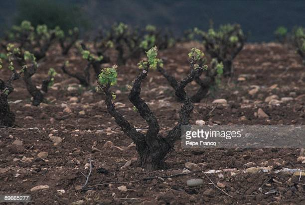 Vine Detail of a vine in a vineyard