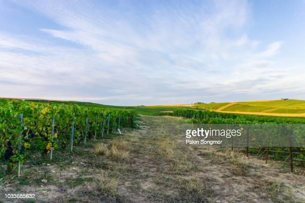 vine grape in champagne vineyards at montagne de reims countryside village background - ardennes department france stock photos and pictures