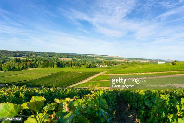 vine grape in champagne vineyards at montagne de reims countryside village background - reims stock pictures, royalty-free photos & images