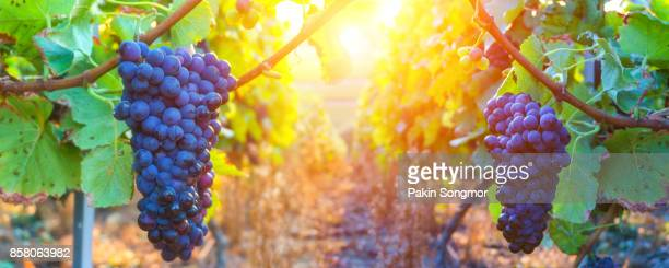 vine grapes in champagne region at montagne de reims, france - druif stockfoto's en -beelden
