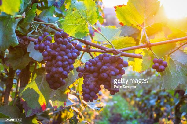 vine grapes in champagne region at montagne de reims - grape stock pictures, royalty-free photos & images