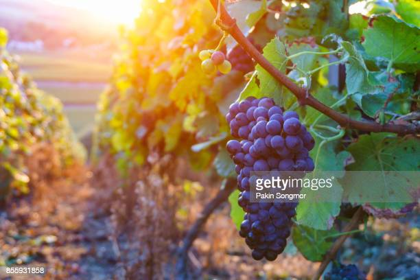 vine grapes in champagne region in autumn harvest, france - grape stock pictures, royalty-free photos & images