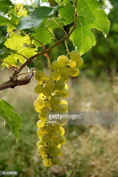 vine Trauben auf eine Pflanze mit leafs